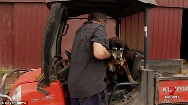 Tuy vẫn còn lang thang trong nông trại nhưng phần lớn thời gian, ông McLaren phải chở Maggie trên xe. (Ảnh: Internet)