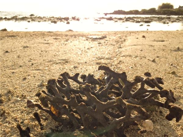 Những nhánh san hô trôi dạt vào dọc bờ biển Điệp Sơn. (Ảnh: Thùy Linh)