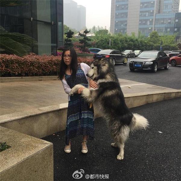 Chú chó alaska vô tư lao đến ôm chầm lấy cô gái đi đường mặc cho cô ra sức đẩy nó đi. (Ảnh: Internet)