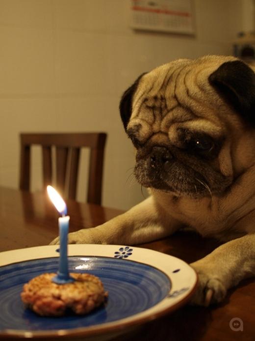 """Chú chó Pug này lại có biểu cảm """"ngây thơ vô số tội"""" trước chiếc bánh sinh nhật của mình. (Ảnh: Internet)"""