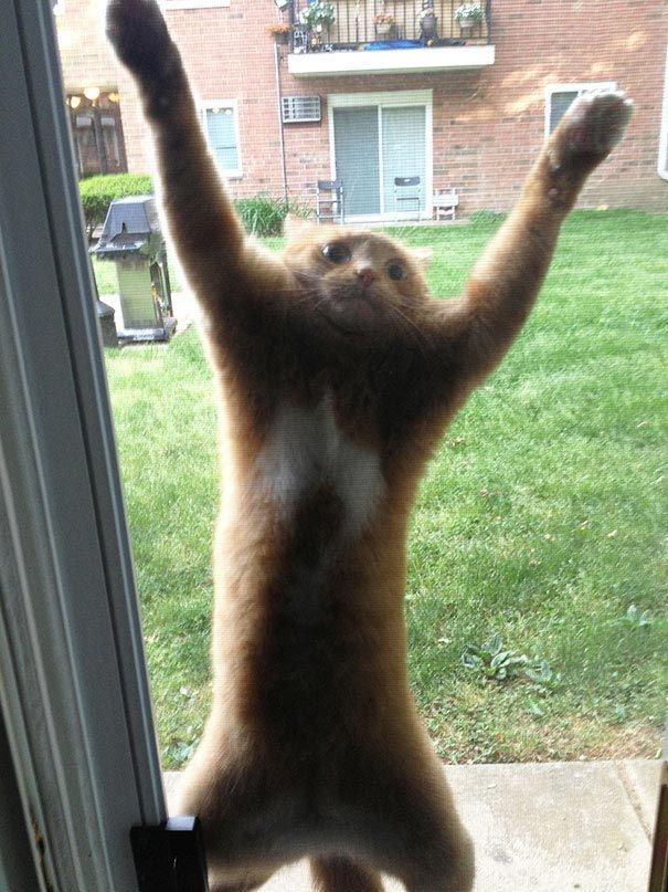Đứng ở dưới thấp chủ nhân không thấy nên phải trèo cho cao. Rồi té cho đau nhé mèo. (Ảnh: rebrn.com)