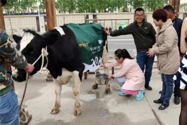Một người dân Bắc Kinh lần đầu tiên trải nghiệm việc vắt sữa bò.