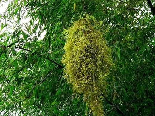 Nhiều người khi nhắc tới tre Việt Nam chỉ nhớ tới hình ảnh luỹ tre hung vĩ cao vút ở làng quê mà không biết rằng nó cũng có hoa. Theo kinh nghiệm truyền lại, tre Việt Nam có chu kì ra hoa từ 60 – 100 năm. Tuy nhiên, sau khi ra hoa, cây sẽ bị lụi tàn và sau đó chết ngay nên những bông hoa tre được ví như lời chào tạm biệt của chúng với cuộc đời. (Ảnh: Internet)