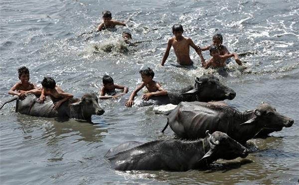 Trẻ em lùa đàn trâu xuống tắm ở một hồ nước để giải nhiệt ở thủ đô New Delhi. Mùa nắng nóng đến nay đã khiến hơn 160 người thiệt mạng, chủ yếu ở các bang miền đông và nam Ấn Độ. Dự báo thời tiết cho biết trời sẽ không có mưa ít nhất trong vài tuần tới.