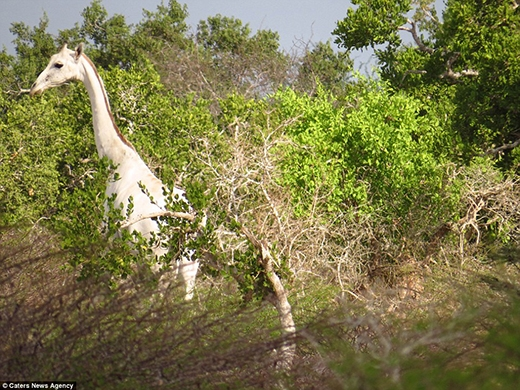 Hiếm có khó tìm: Hươu cao cổ 'bạch tạng', lông trắng muốt