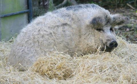 Lợn Mangalitsa có lông như cừu