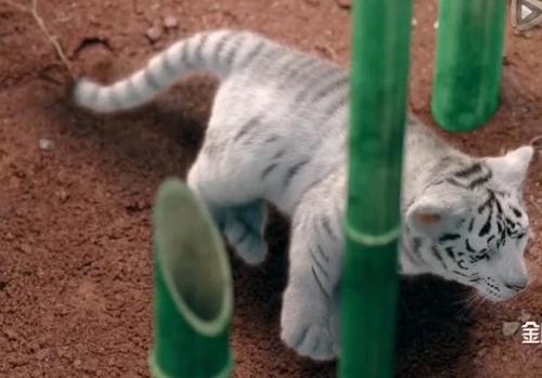 Hình ảnh hổ được dựng bằng kỹ xảo trong phim.