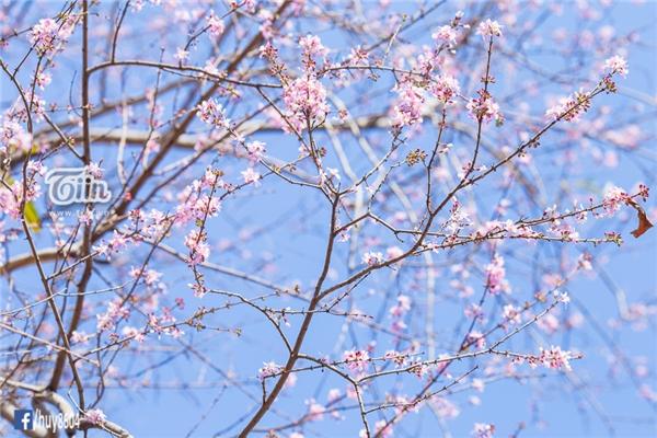 Từng cành đào khẳng khiu, nặng trĩu những bông hoa nhỏ li ti cứ thế vươn mình trên nền trời xanh trong vắt. Tưởng như một sức sống mãnh liệt luôn ẩn chứa bất chấp thời tiết khắc nghiệt.
