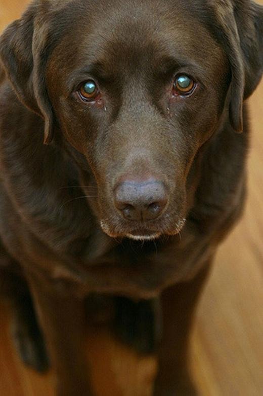 """Chú chó giốngLabrador màu socola này có đôi mắt buồn tới hút hồn người nhìn. Bạn không thể không """"đau lòng"""" khi thấy """"ẻm"""" đúng không?(Ảnh: Internet)"""