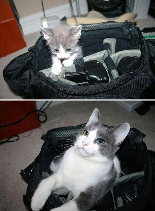 """Vẫn là bộ dạng thân quen ngày xưa, có điều mèo ta bây giờ đã là """"vệ sĩ"""" trung thành cho đồ của chủ. (Ảnh: Internet)"""