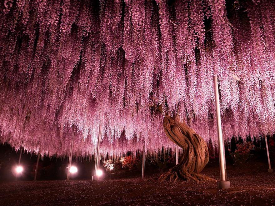 Cây đậu tía 144 năm tuổi ở Nhật Bản (Ảnh: tungnam, flickr)