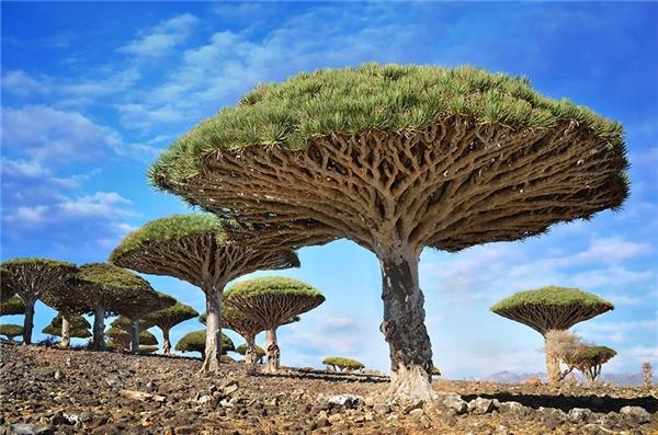 Cây máu rồng ở Yemen (Ảnh: Csilla Zelko)