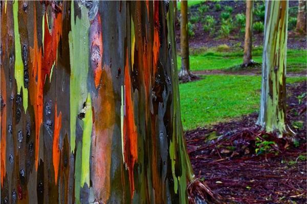 Cây khuynh diệp Cầu vồng ở Hawaii (Ảnh: jwilsonnorton, Christopher Martin)