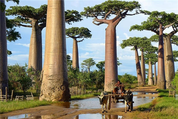 Cây bao-báp ở Madagascar (Ảnh: confitalsurf)