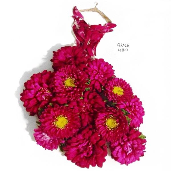 Hoa cúc màu hồng tím ngọt ngào.