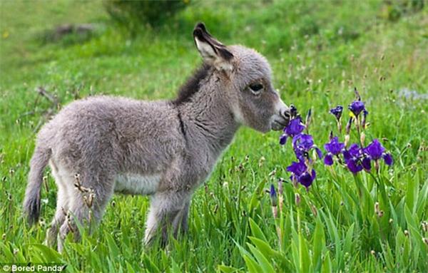 Chú lừa con tí hon hẳn là đang đi chơi cùng mẹ thì tình cờ bắt gặp loài hoa tím thẫm này nên tò mò chạy đến ngửi. (Ảnh: Internet)
