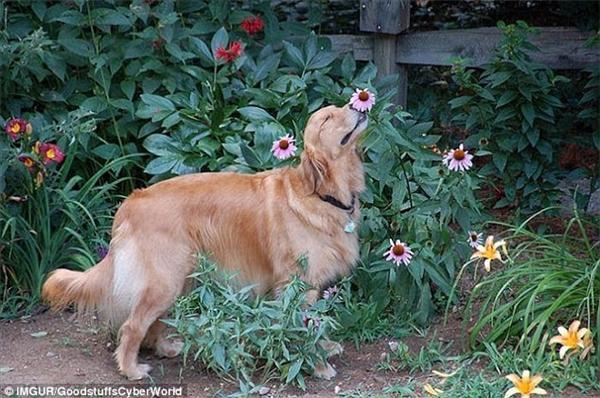 Chú chó này hẳn rất thích hoa nên mới có biểu cảm say mê đến vậy. (Ảnh: Internet)