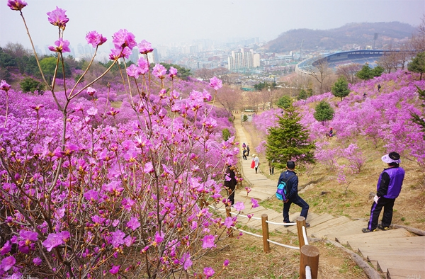 Mùa hoa đỗ quyên rực rỡ (Ảnh: Internet)