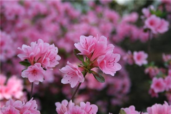 Sửng sốt trước vẻ đẹp lộng lẫy của mùa hoa đỗ quyên