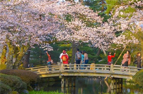 Mùa hoa anh đào ở Nhật Bản. (Ảnh: Hà Minh Tuấn)