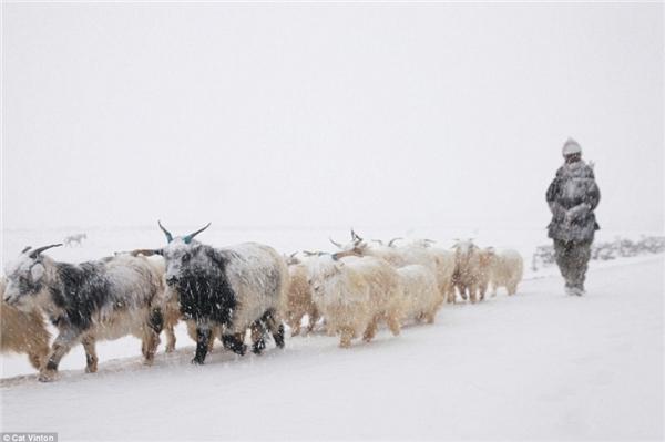 Sau khi những người du mục lùa dê xuống từ sườn núi tuyết, họ nhanh chóng cho chúng ăn.