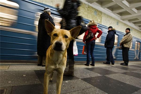 Chó hoang sống ở tàu điện ngầm là cảnh rất thường thấy ởMoscow, đến nỗi người ta hầu như chẳng thèm để ý đến chúng nữa.