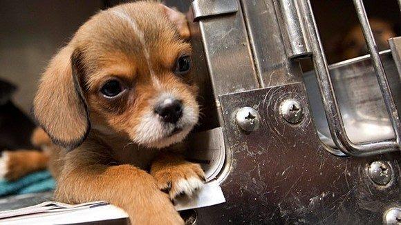 Những con chó nhỏ nhắn, dễ thương sẽ có nhiệm vụ đi xin ăn hành khách.