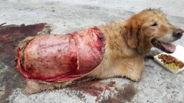 Vết thương nghiêm trọng của chú chó