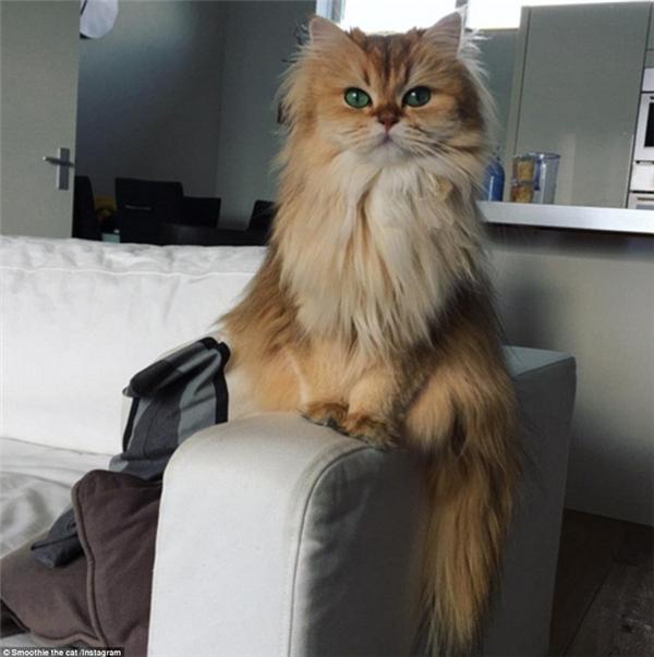 Như các bé mèo khác, Smoothie rất thích những chỗ ấm như bàn phím laptop, những chỗ cao như tay vịn tràng kỷ, loa máy tính... (Ảnh: Internet)