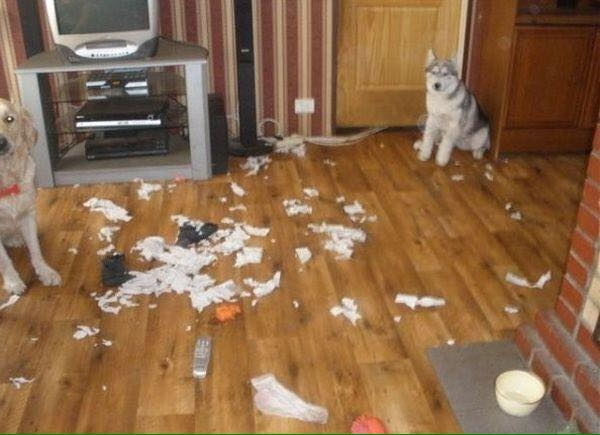"""Husky là bạn xấu, lôi kéo cả bé Golden làm """"tòng phạm"""" kìa. (Ảnh: Internet)"""