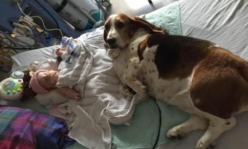 Chú chó săn túc trực bên giường bệnh. (Ảnh: Internet)