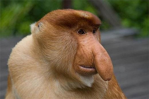 Khỉ mũi dài hiện thuộc danh mục động vật nguy cấp trong sách đỏ. (Ảnh: Internet)