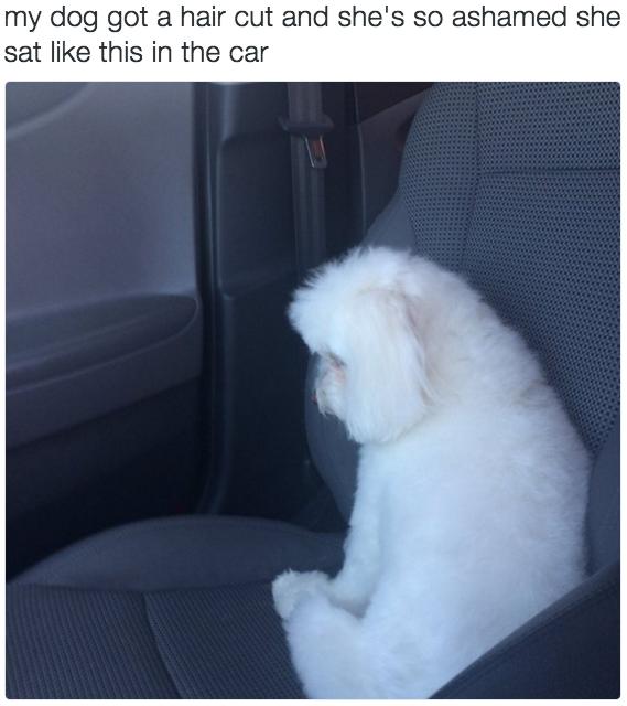 """Gái đang đẹp bị chủ thiếu óc thẩm mỹ """"vác"""" đi cắt lông nên xụ mặt cả buổi trên xe thế này đây. (Ảnh: Internet)"""