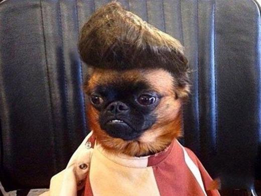 Elvis Presley phiên bản cún... bị móm. (Ảnh: Internet)
