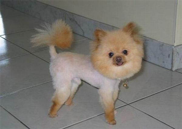Những em cún hờn cả thế giới vì đụng thợ cắt tóc có tâm