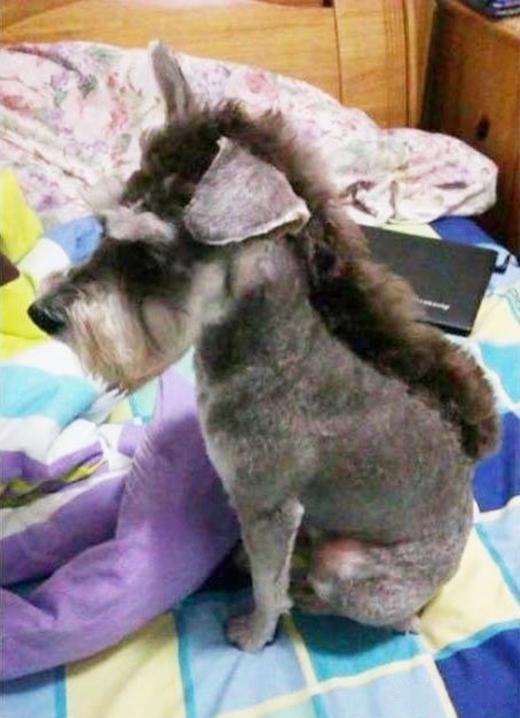 Chó không để đầu mohawk được đâu, chỉ tổ trông giống... con lừa thôi. (Ảnh: Internet)