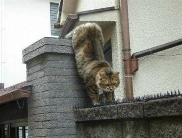 Chú mèo đang rón rén bước lên đinh. (Ảnh: Internet)