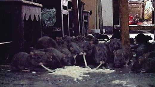 Những con chuột ăn mì do ông Châu rải xuống sàn