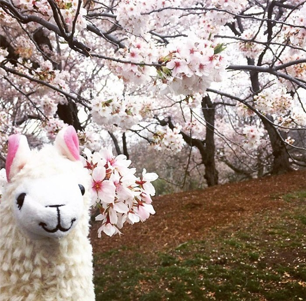 Mùa xuân đến, tạo dáng với hoa anh đào. (Ảnh: Eylul Savas)