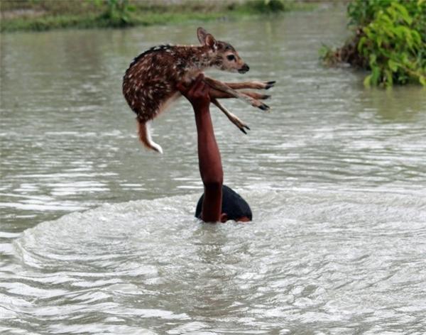 Cậu bé da màu dũng cảm, không màng hiểm nguy giải cứu chú nai con bị rơi xuống sông ở Bangladesh.
