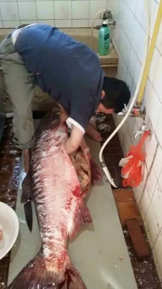 """Chú cá mè """"to như người""""đang được người dân chế biến. (Ảnh: Internet)"""
