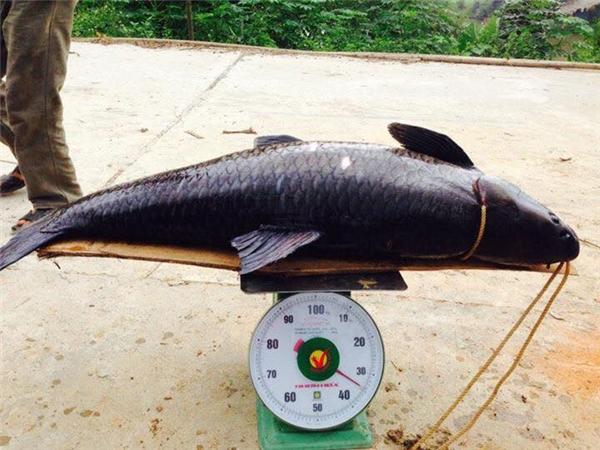 """Hóa ra mấy con cá """"khủng long"""" này cũng nhiều quá, toàn nặng tới 35kg. (Ảnh: Internet)"""
