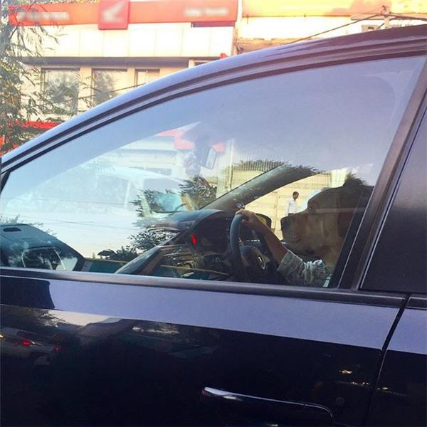 Chó có tay, lái xe hơi?! (Ảnh: Internet)