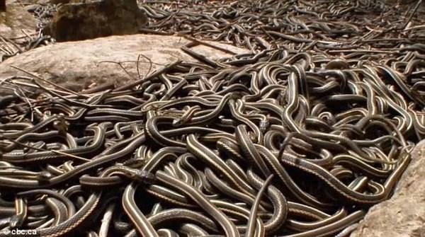 """Sau khi thức dậy, hàng ngàn con rắn sọc đỏ lao ngay vào """"cuộc chiến tình yêu"""" khốc liệt. Ảnh: Internet"""