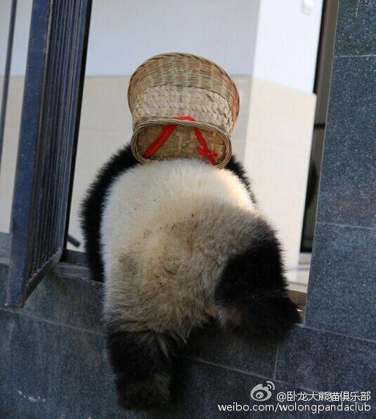 Và chú quyết định trèo qua tường để chơi, chiếc giỏ vẫn còn đeo trên lưng.