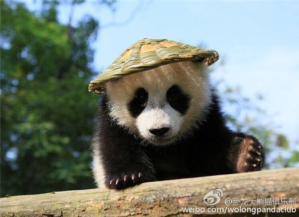 Bộ dạng đáng yêu của chú ta không khác nào chú gấu Po trong bộ phim hoạt hình Kung Fu Panda.
