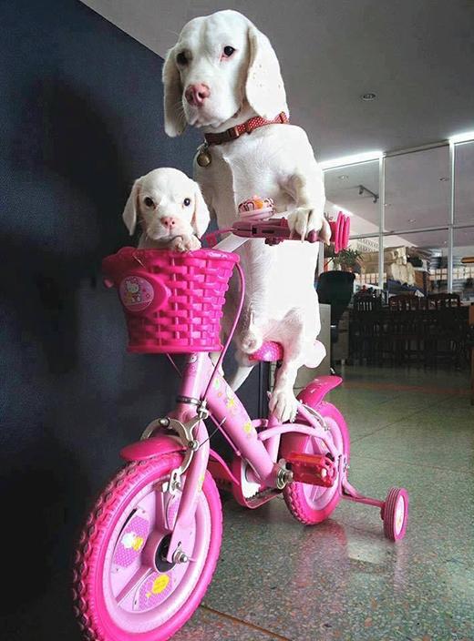 """Phải thương con gái rượu lắm nên bố mới sắm xe đạp """"màu hường"""" chở con đi dạo... quanh nhà thế này. (Ảnh: Weibo/Tinh hoa hài hước)"""