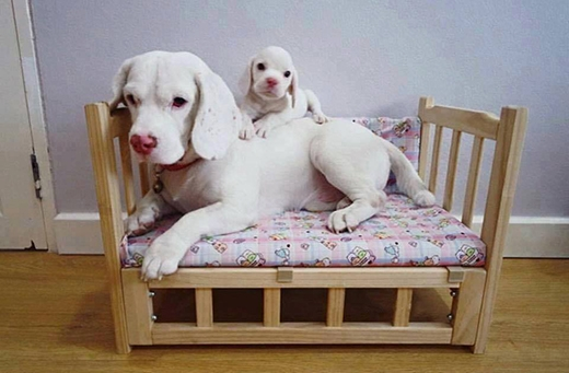 Giường này là của riêng con, nhưng vẫn muốn nằm chung với bố cho ấm. (Ảnh: Weibo/Tinh hoa hài hước)