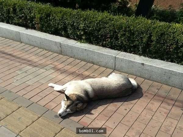 Không giống những chú chó bình thường khác, chú husky này dù đã 12 tuổi nhưng cả đời chú chưa bao giờ thèm chạy nhảy hay quậy phá mà chỉ thích nằm lì một chỗ, ai làm gì cũng mặc kệ, hờ hững với cả thế giới.