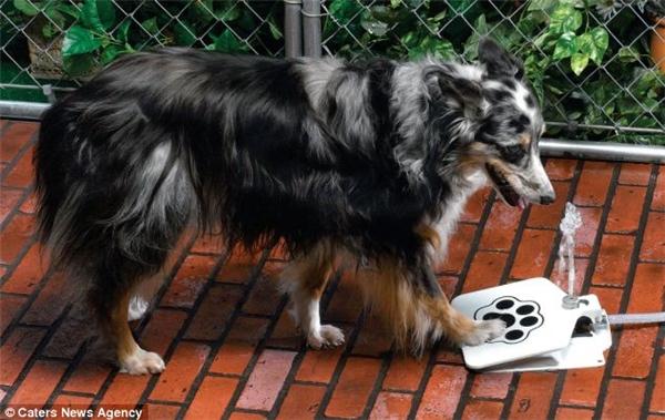 Một chiếc vòi phun nước tự động dành cho em cún của bạn, tại sao không? Chỉ cần đặt bàn chân lên chiếc bàn đạp là nước có thể tự động phun lên vô cùng đẹp mắt. Chắc chắn đây sẽ là một trong những món đồ được các em cún cực yêu thích trong hè này.(Ảnh: Internet)